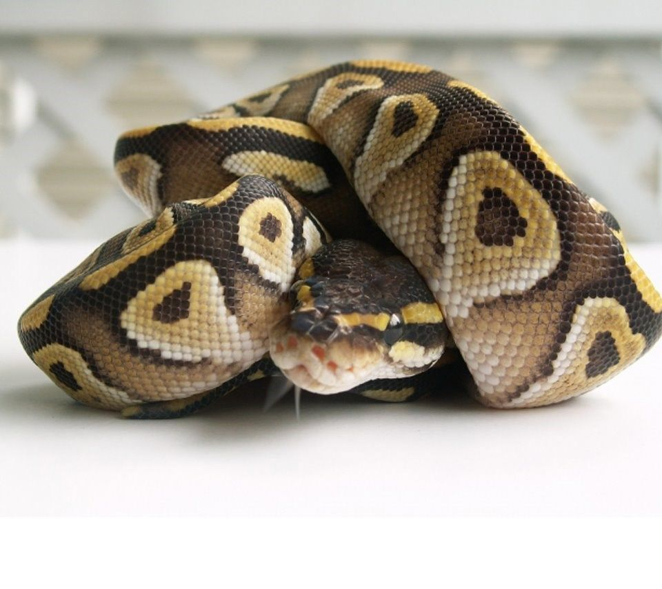 Ball Python Wallpapers HD Wallpaper Backgrounds Of Your Choice