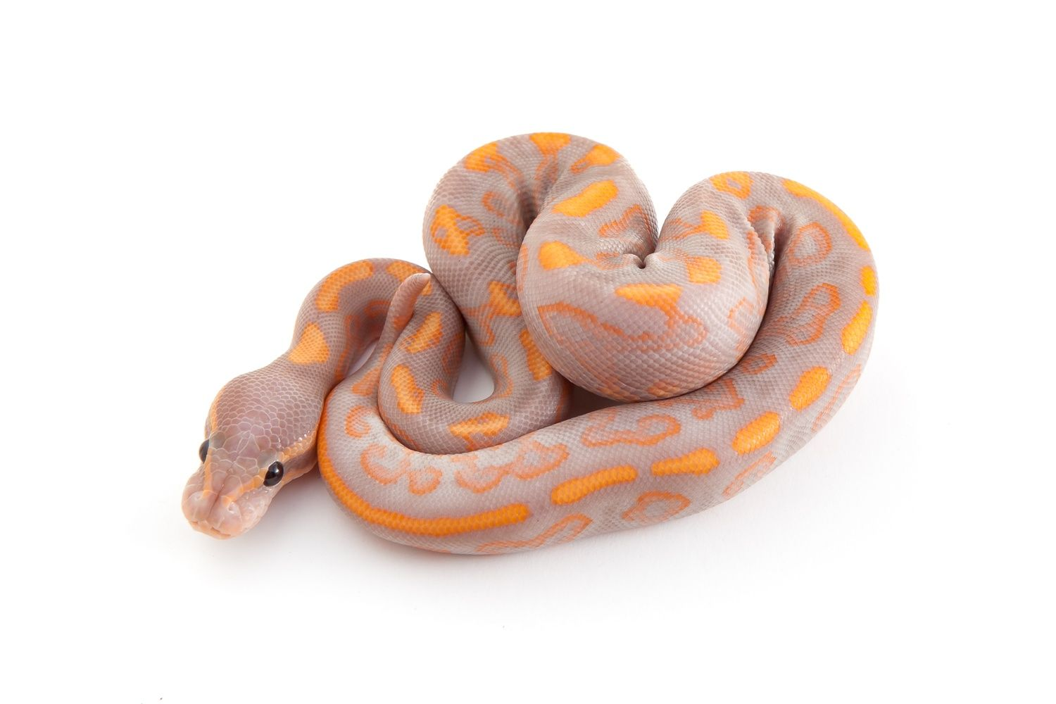 Banana Black Pastel Yellowbelly Ball Python by Outback