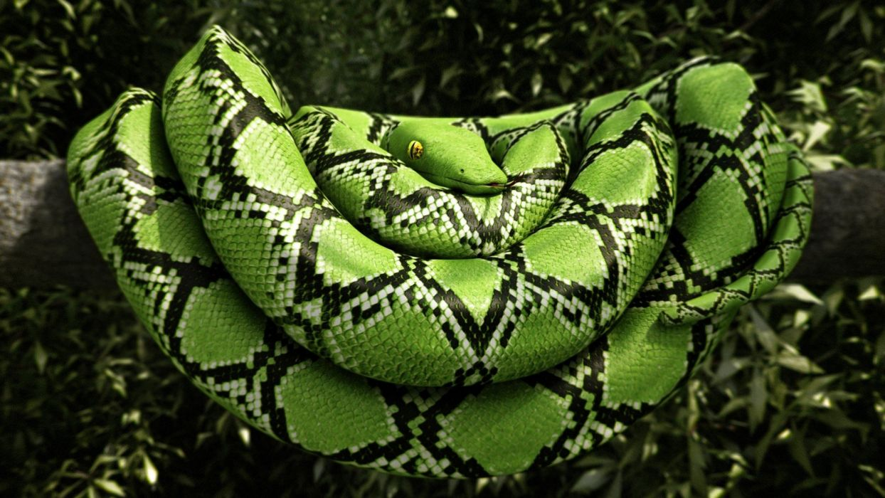 Boa constrictor wallpapers
