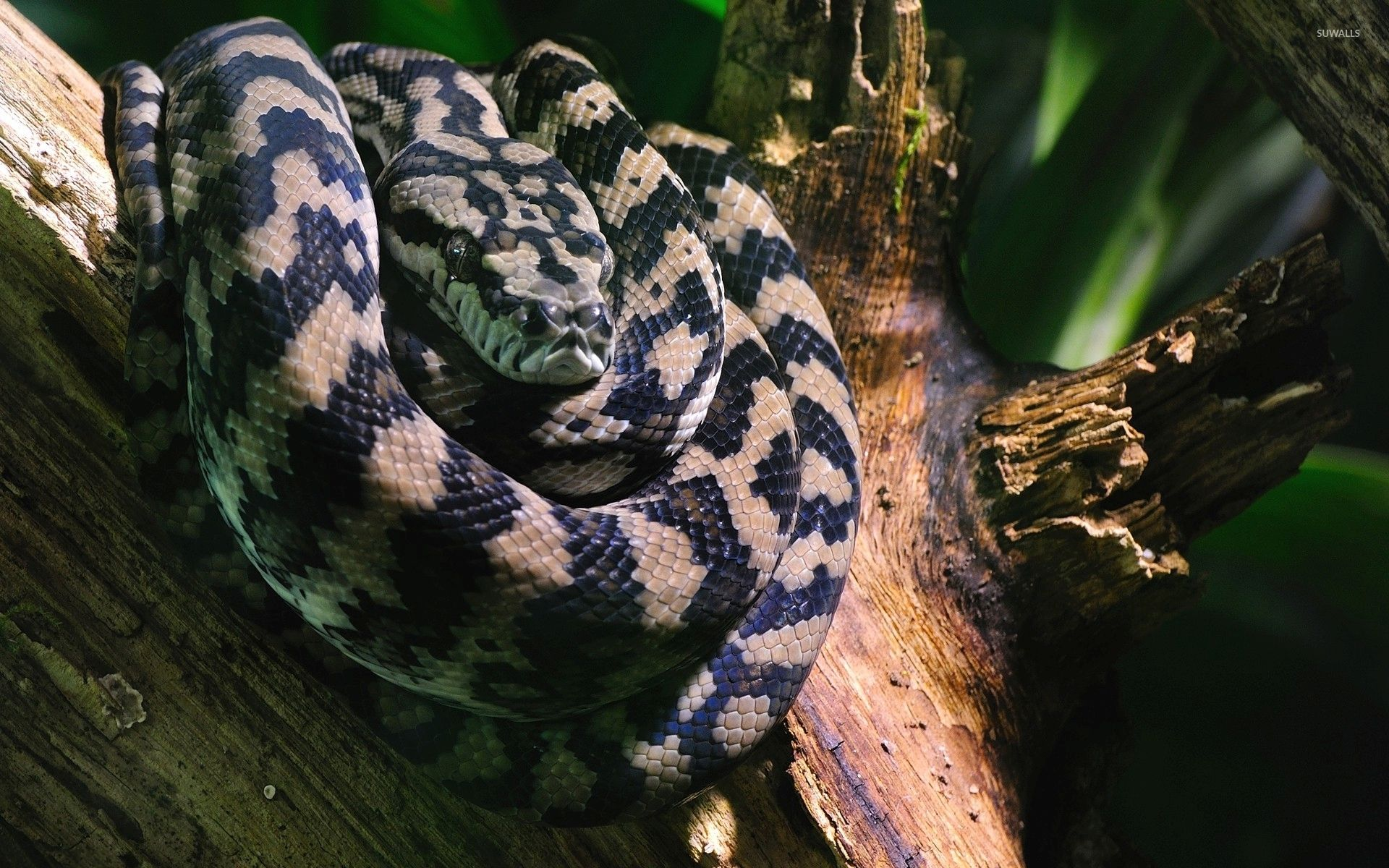 Boa constrictor on a tree log wallpapers
