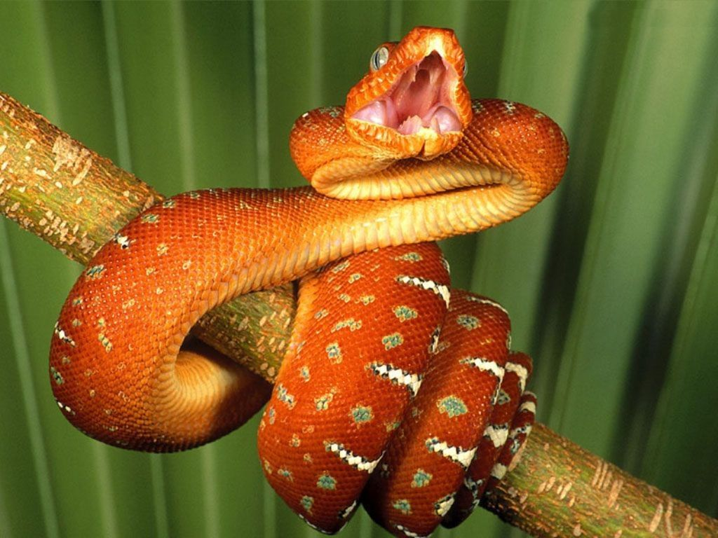 Boa constrictor on a stick wallpapers and image