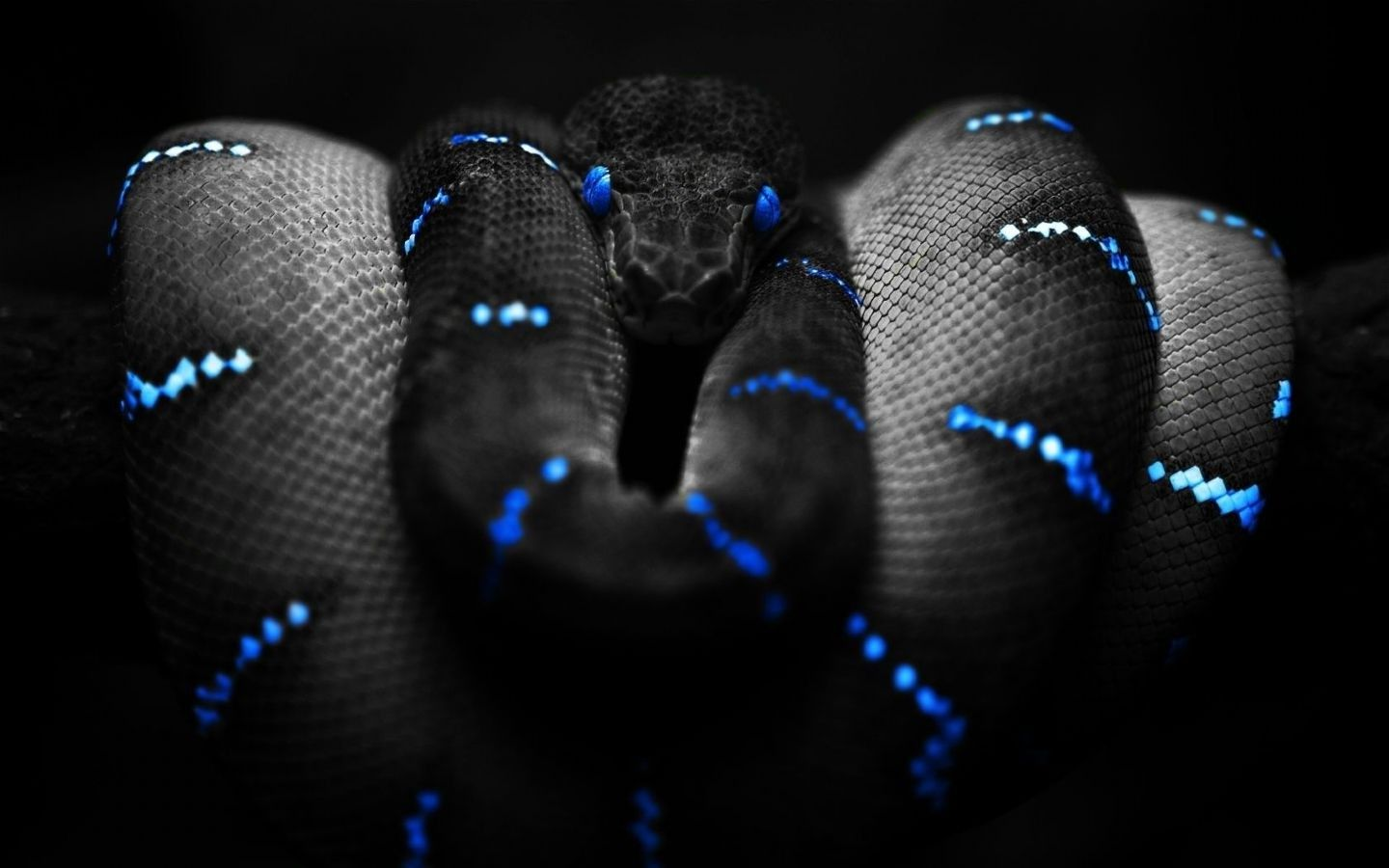 animals, Snake, Selective Coloring, Boa Constrictor Wallpapers HD