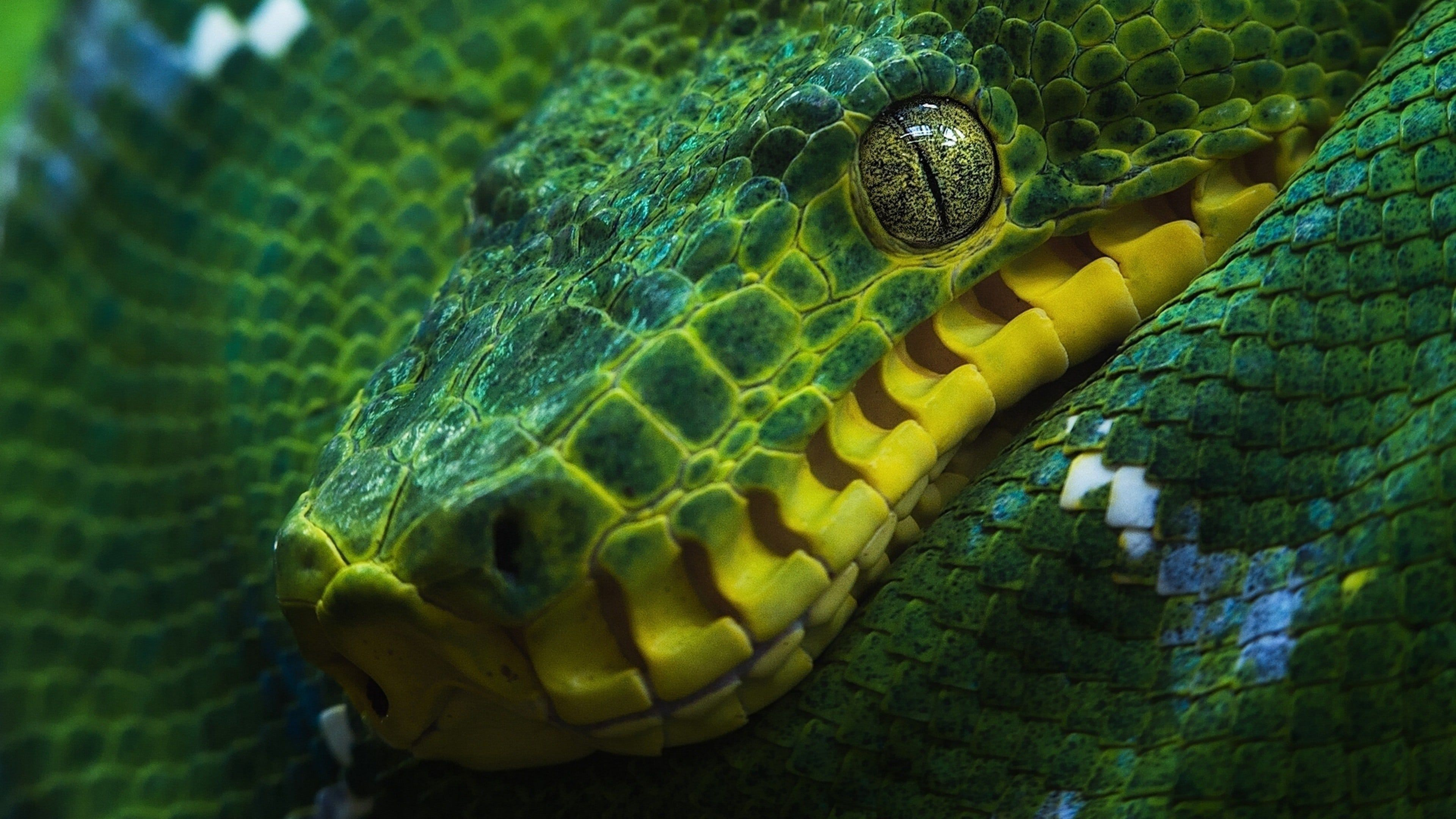 Wallpapers Boa Constrictor Snake Green Macro CoolWallpapers.site