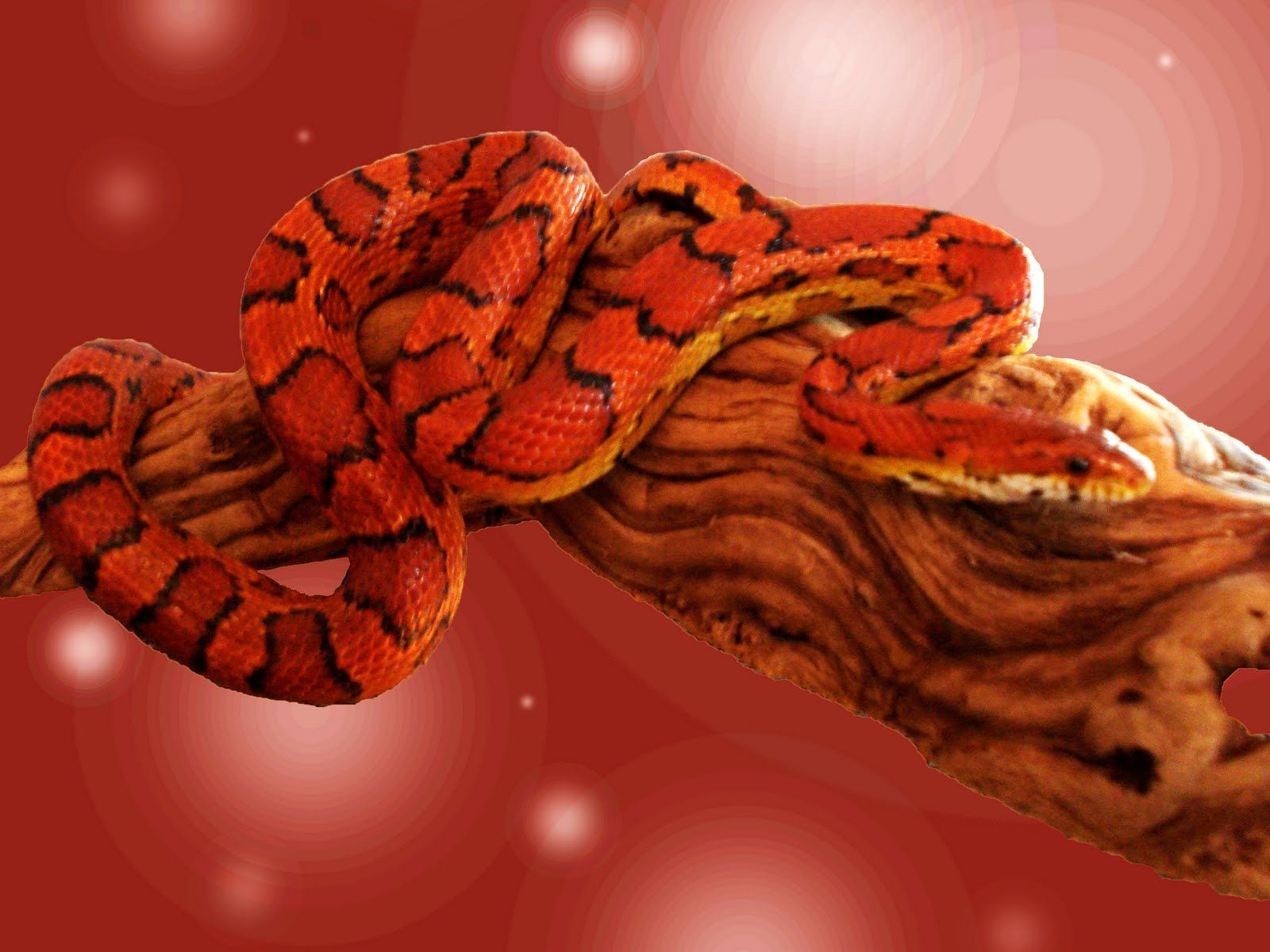 Exotic Snake HD Wallpapers