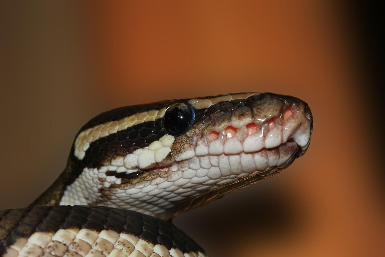 Boa Constrictor Wallpapers HD – Android Apps on Google Play