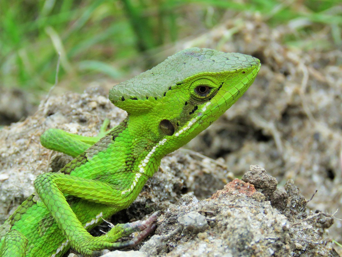 Reptile World Facts on Twitter: Eastern Casquehead Iguana