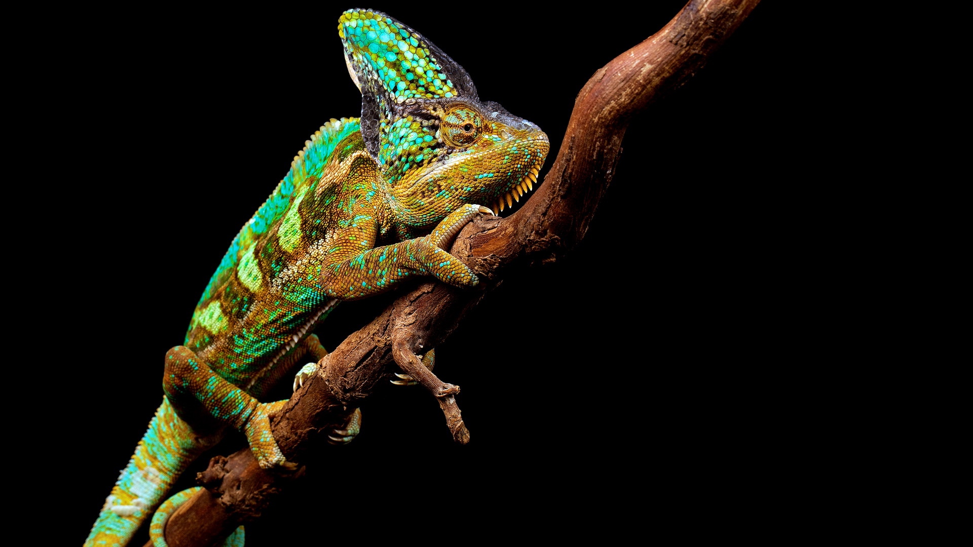 Download wallpapers 1920x1080 chameleon, reptile, branch full hd