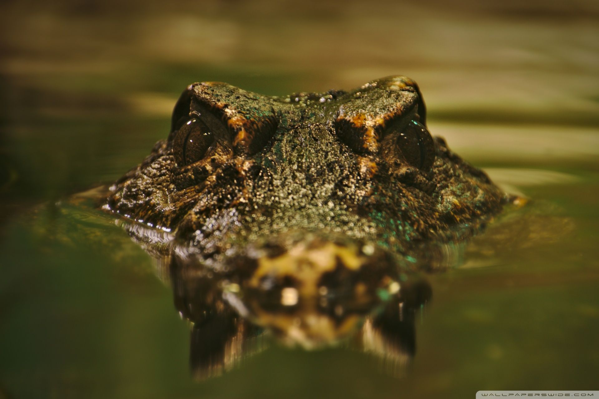 Crocodile ❤ 4K HD Desktop Wallpapers for 4K Ultra HD TV • Wide