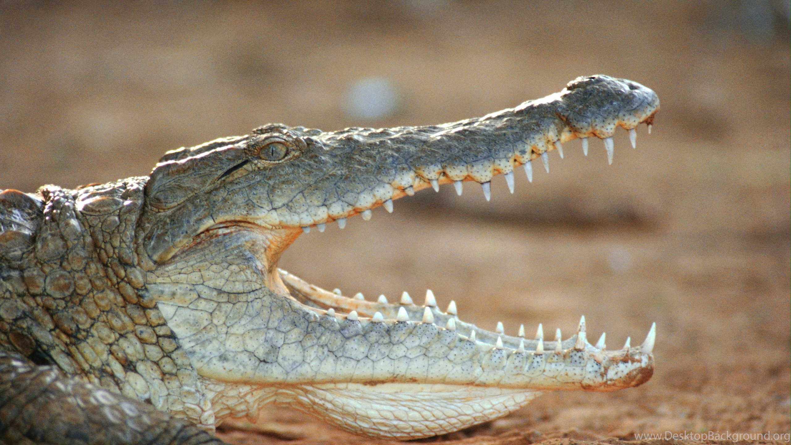 72 Crocodile HD Wallpapers Desktop Backgrounds