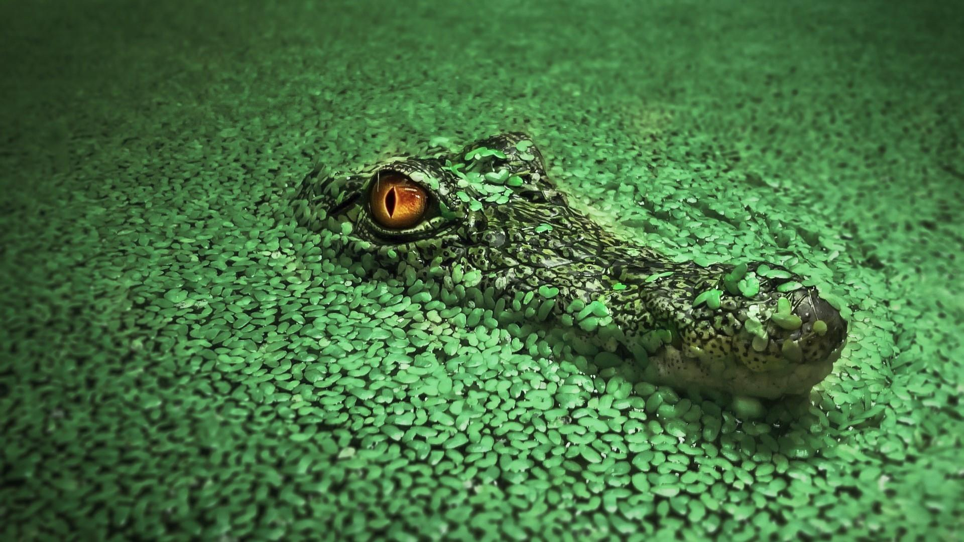 Nile Crocodile HD Wallpapers