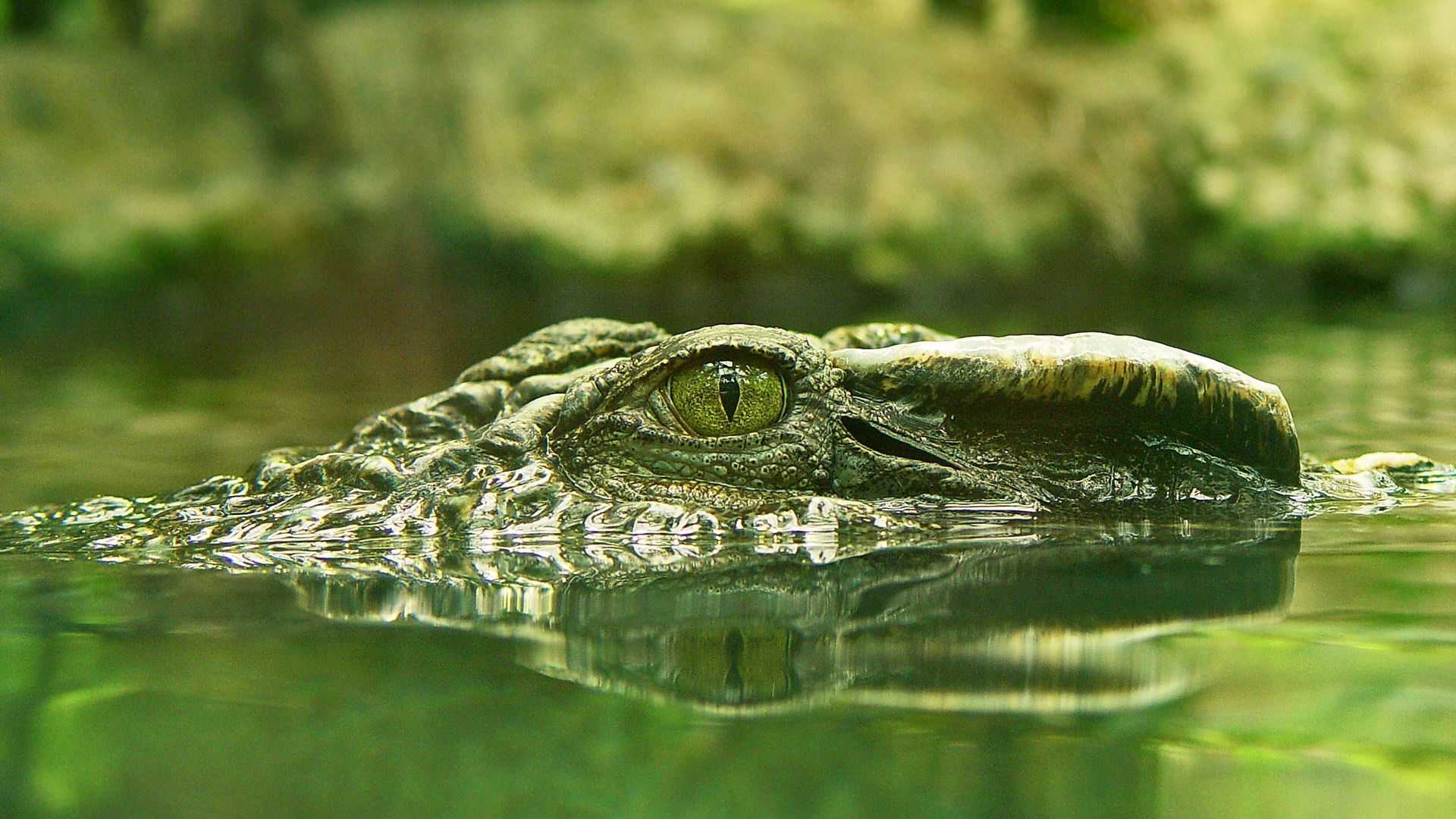 Crocodile Wallpapers 1920x1080,