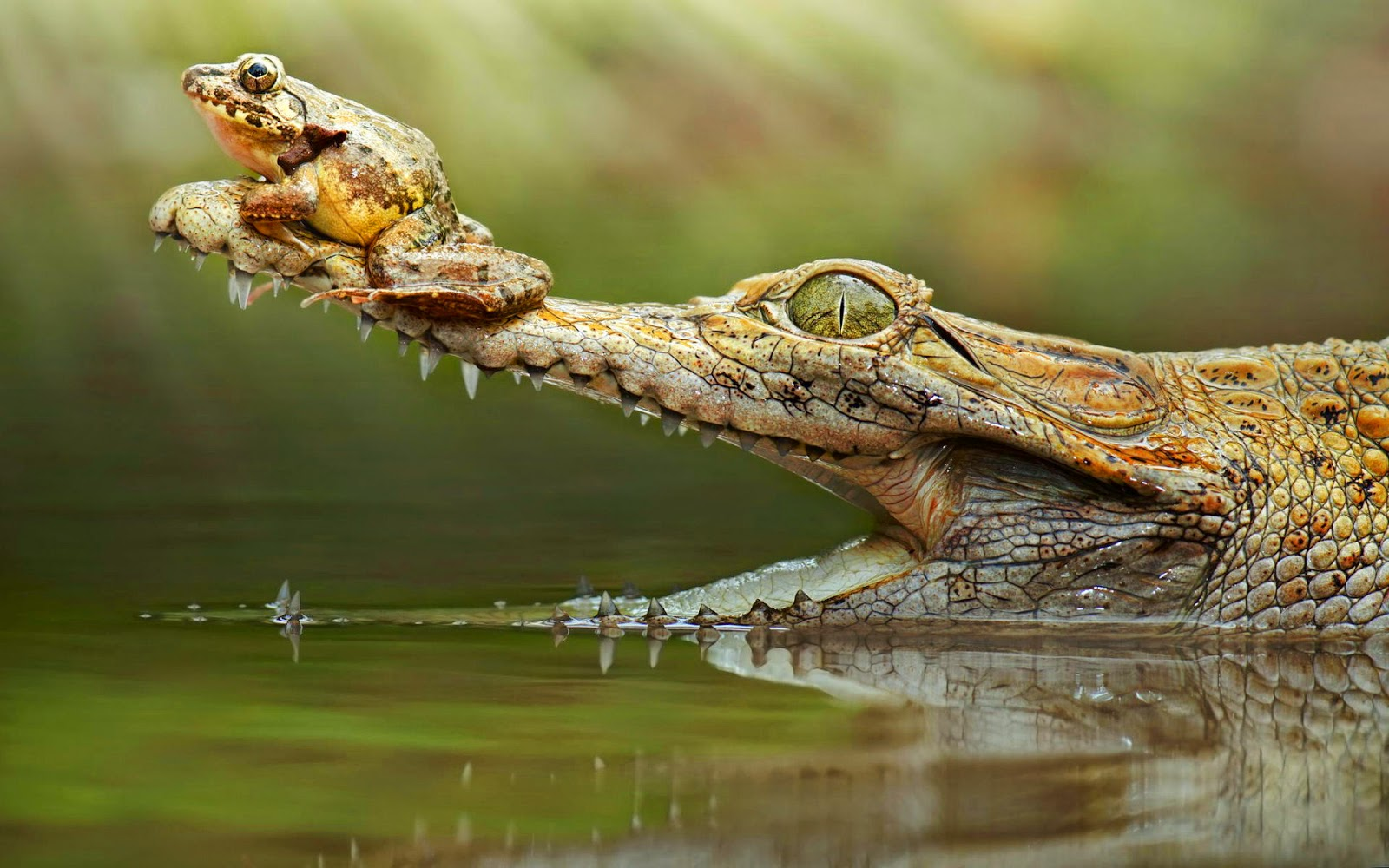 Crocodile With A Frog On His Snout