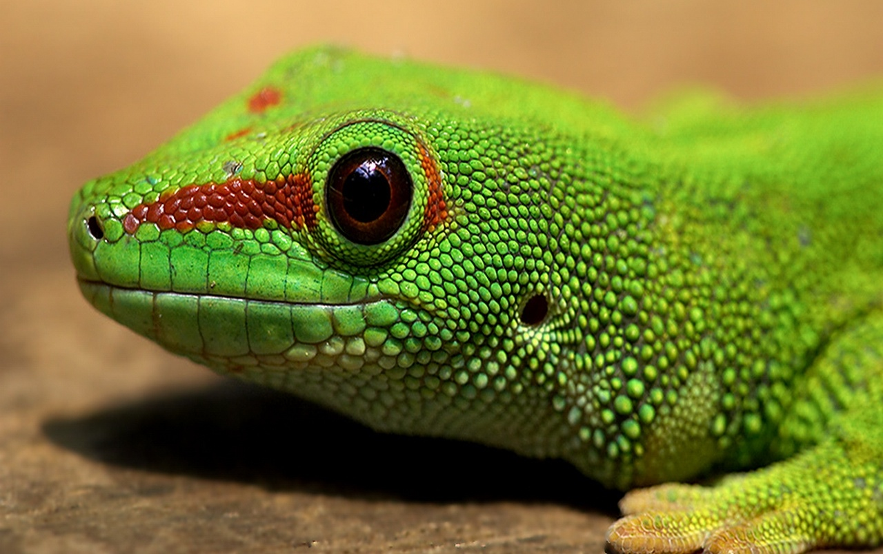Gecko wallpapers
