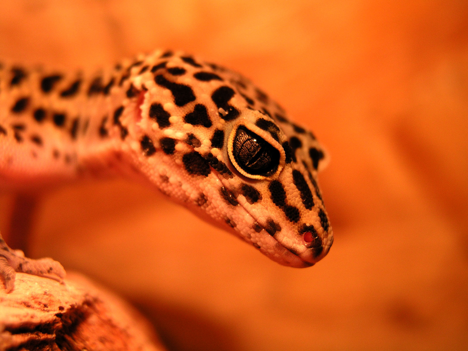 Gecko Wallpapers 4K