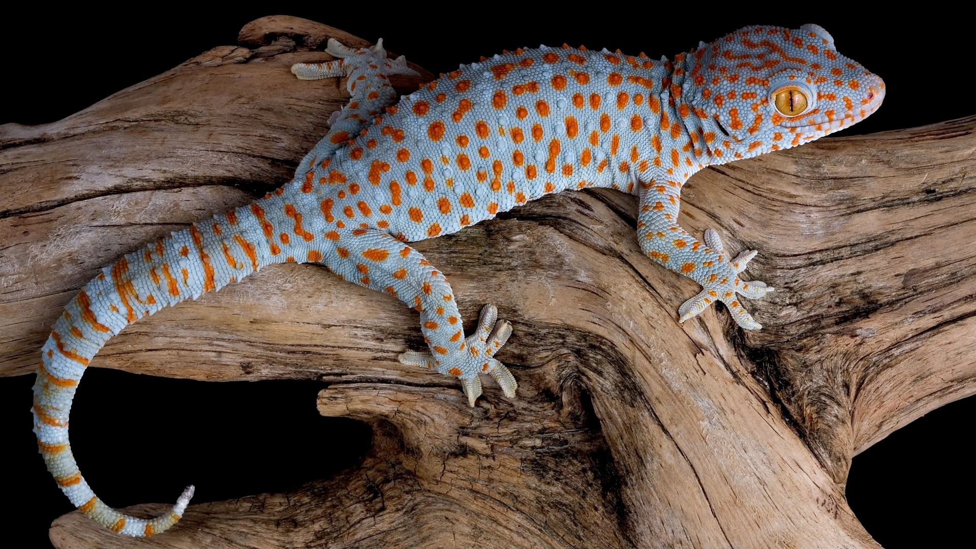 Tokay Gecko HD Wallpapers