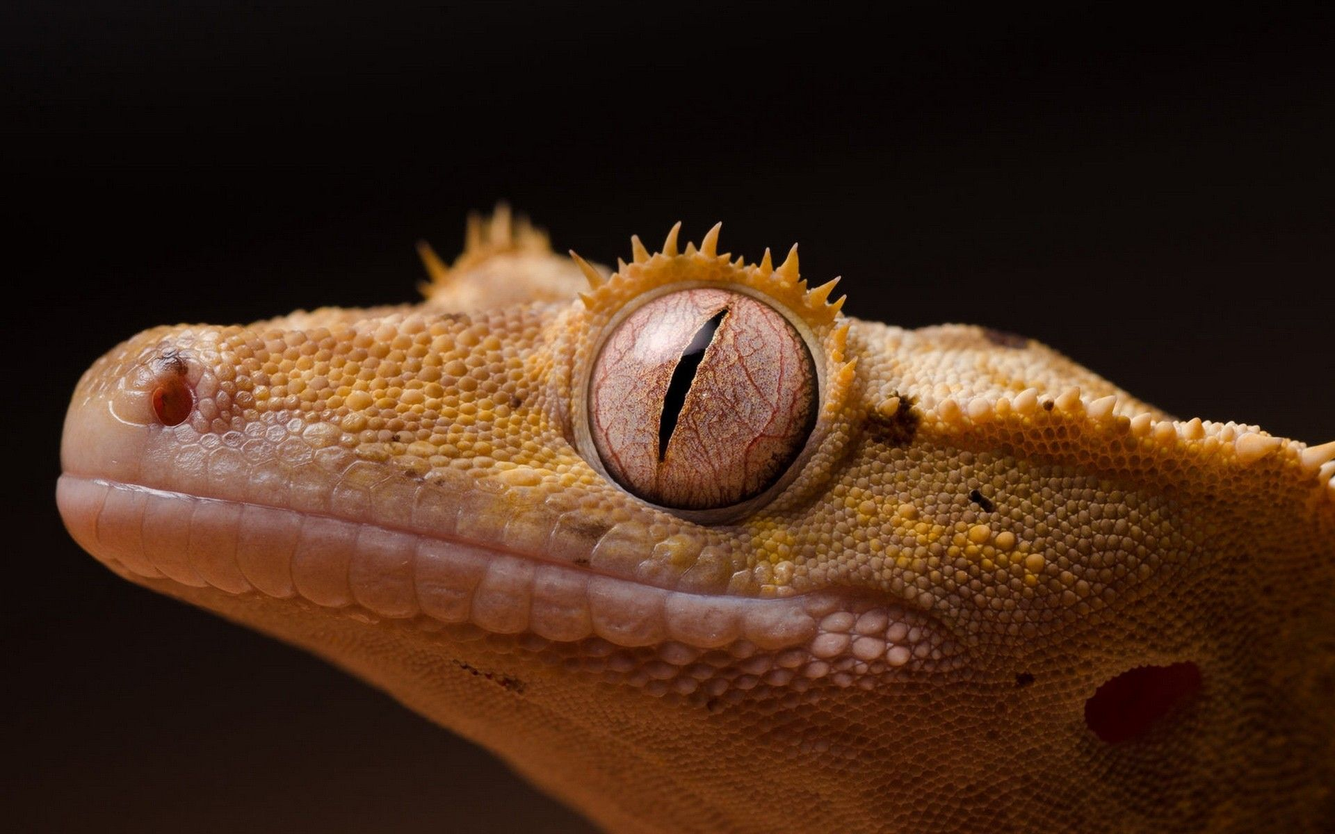 Free Gecko Wallpapers
