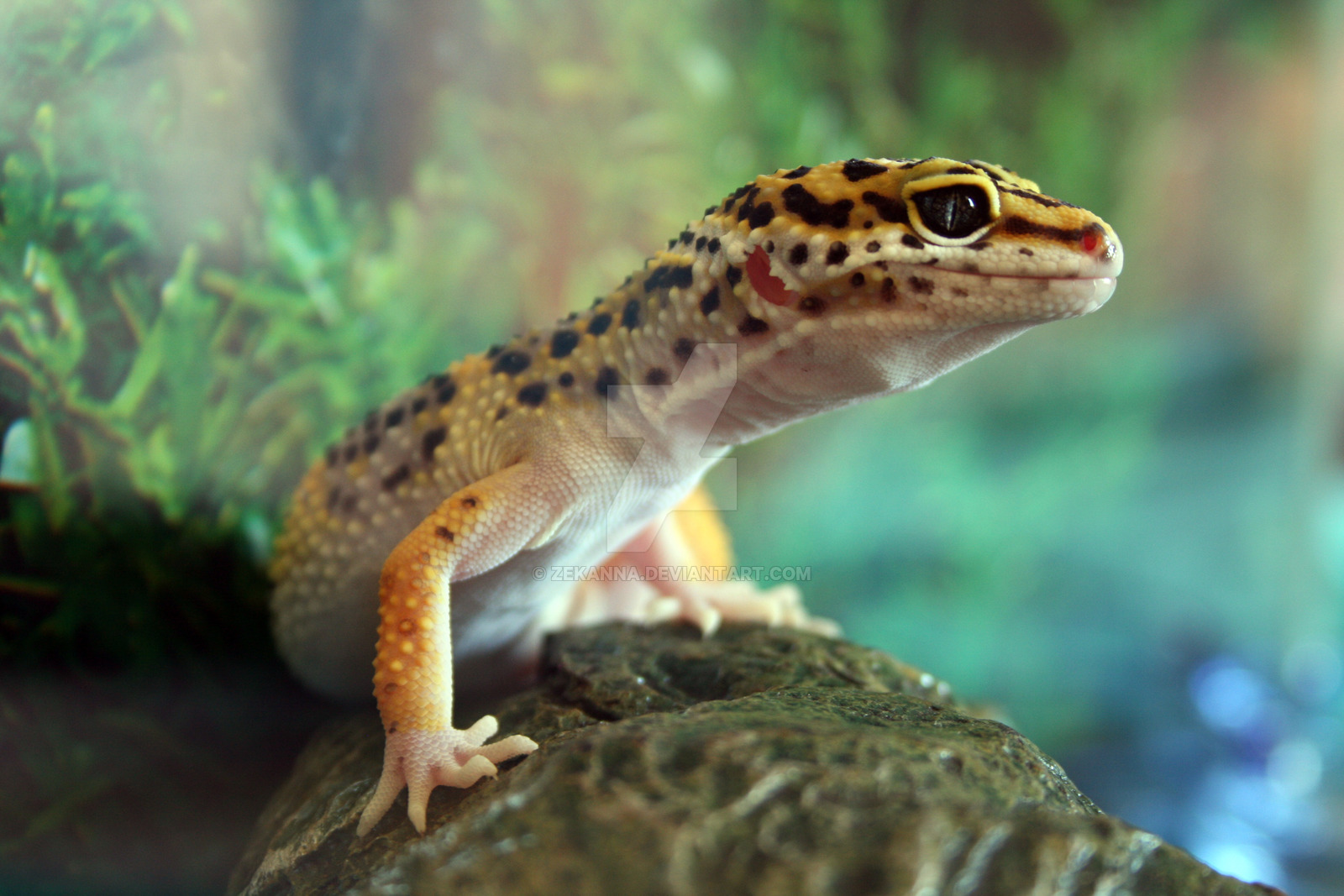 Leopard Gecko Wallpapers HD Download 1600x1067