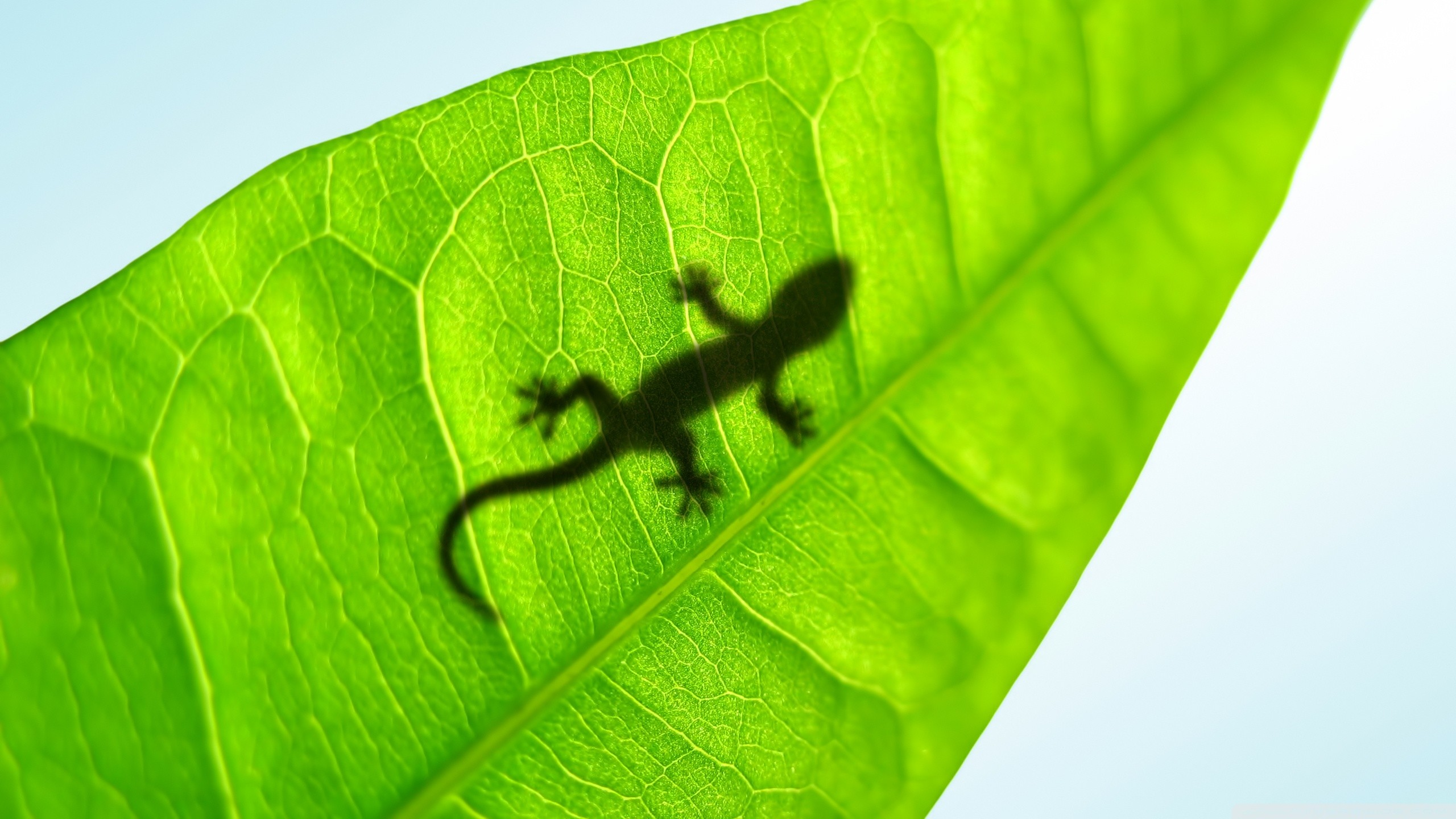 Gecko Wallpapers ·①