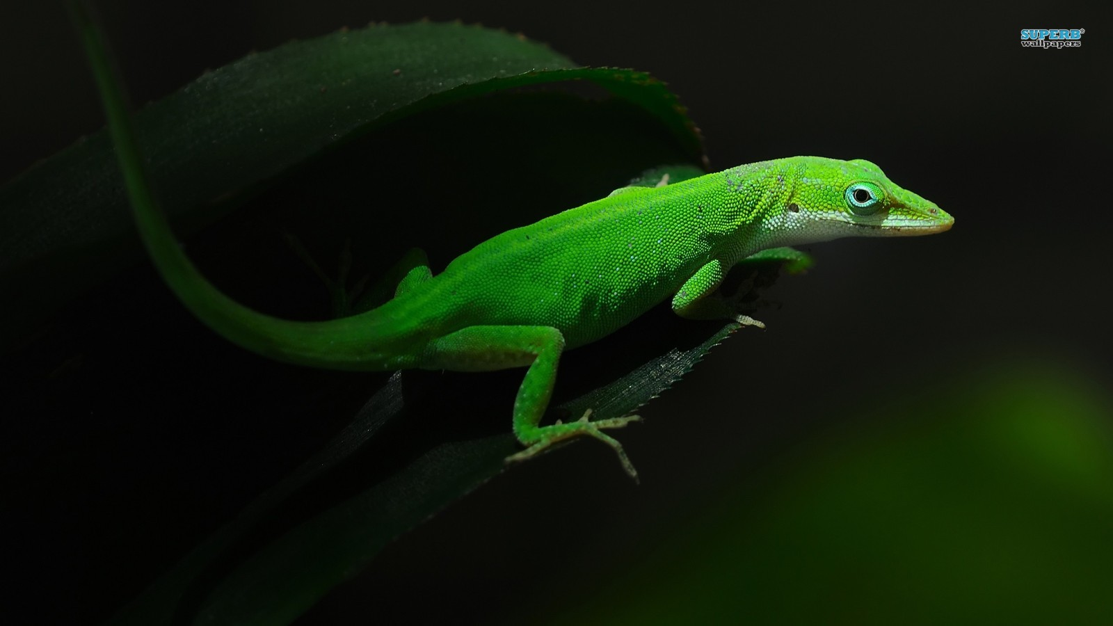 lizards image Gecko HD wallpapers and backgrounds photos