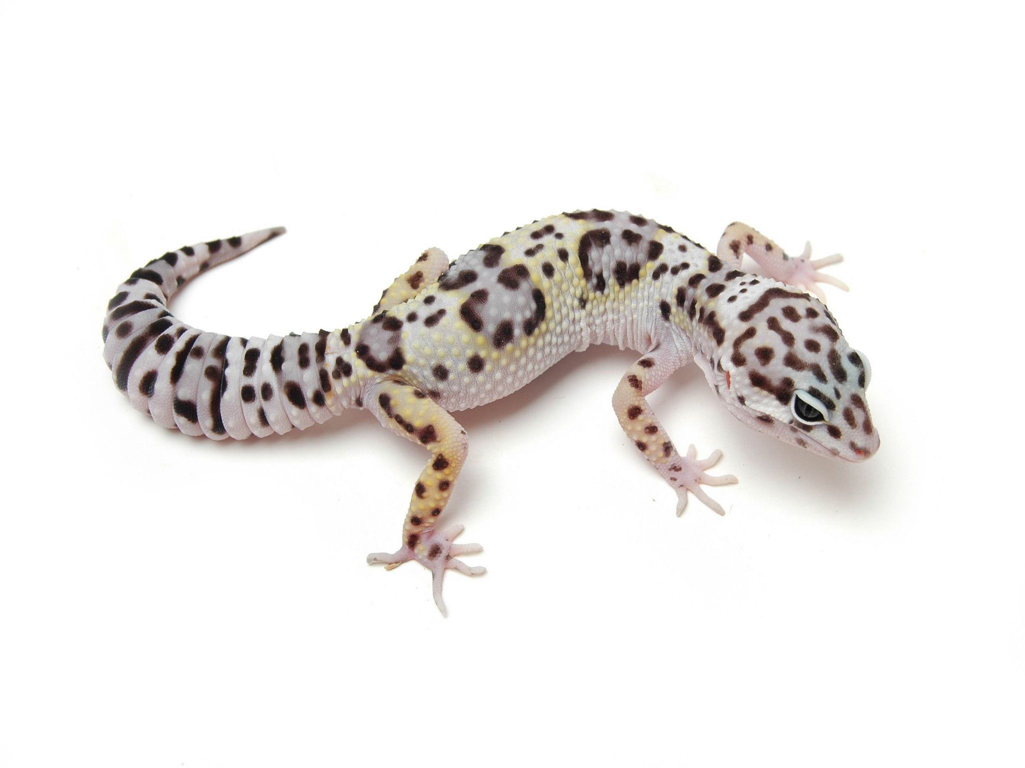 iguana, Reptile, Leaves, Leopard Geckos, Animals Wallpapers HD 950