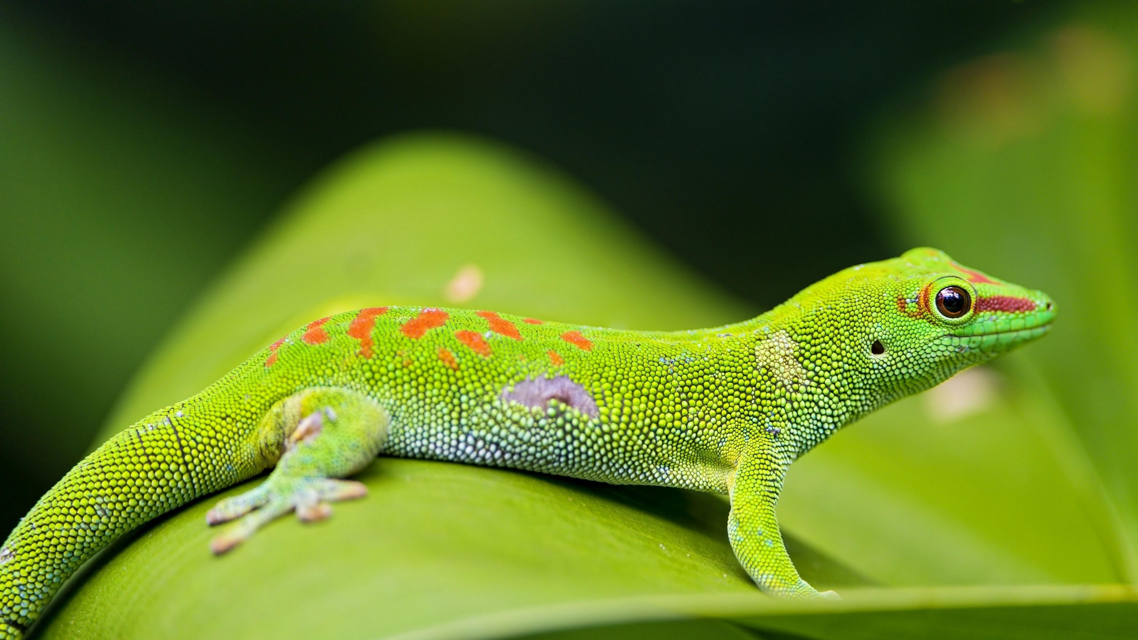Madagascar Day Gecko 4K UltraHD Wallpapers