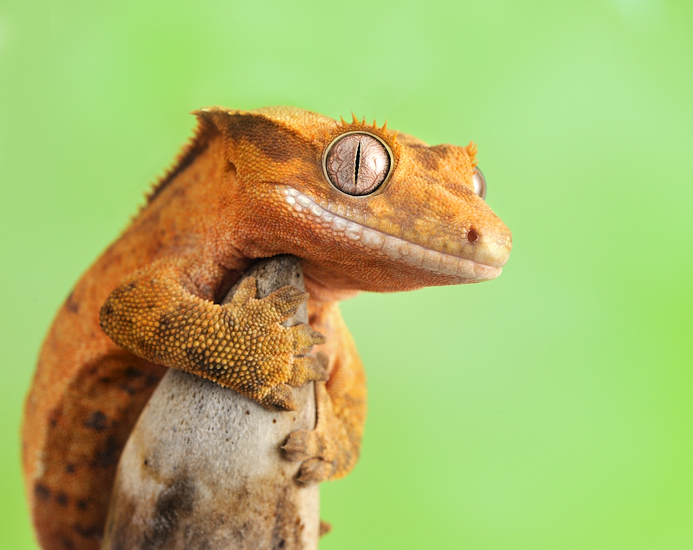 Crested Gecko Wallpapers
