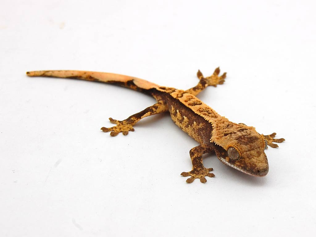 Free Gecko Wallpapers download