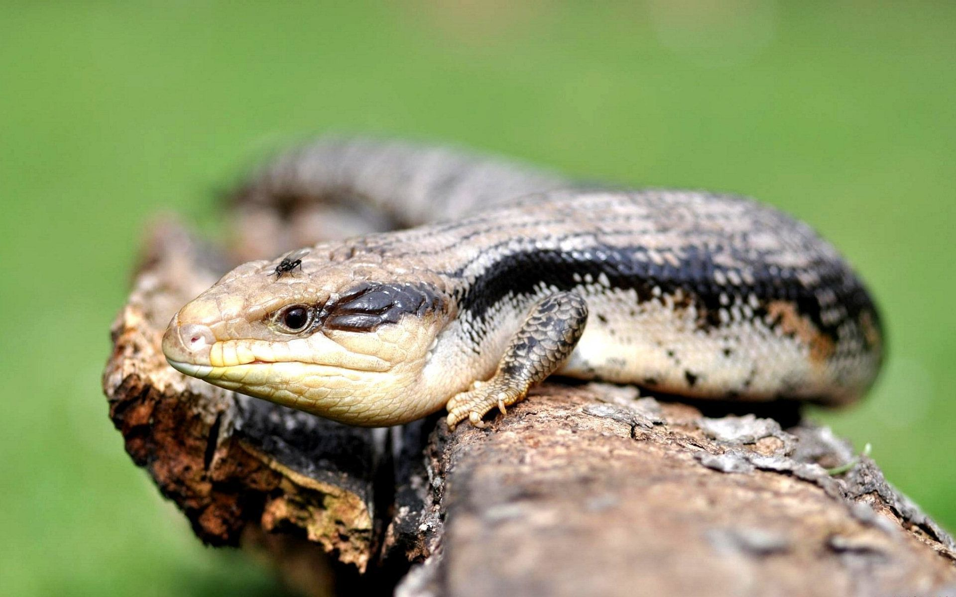 blue tongue skink wallpapers and backgrounds