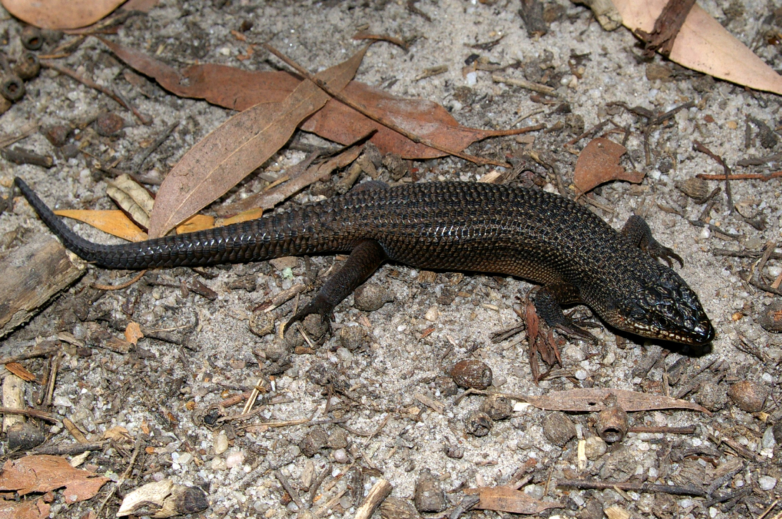 Gippsland: The Skink's Domain