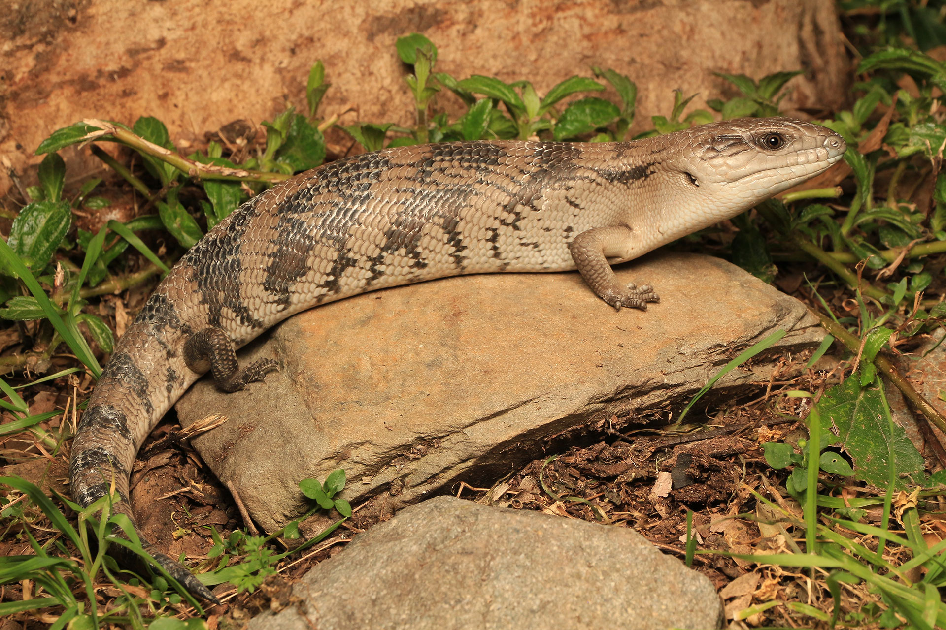 1920x1280 blue tongue skink wallpapers for desktop