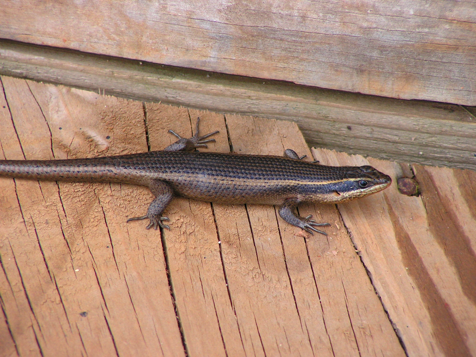 File:Striped skink.jpg