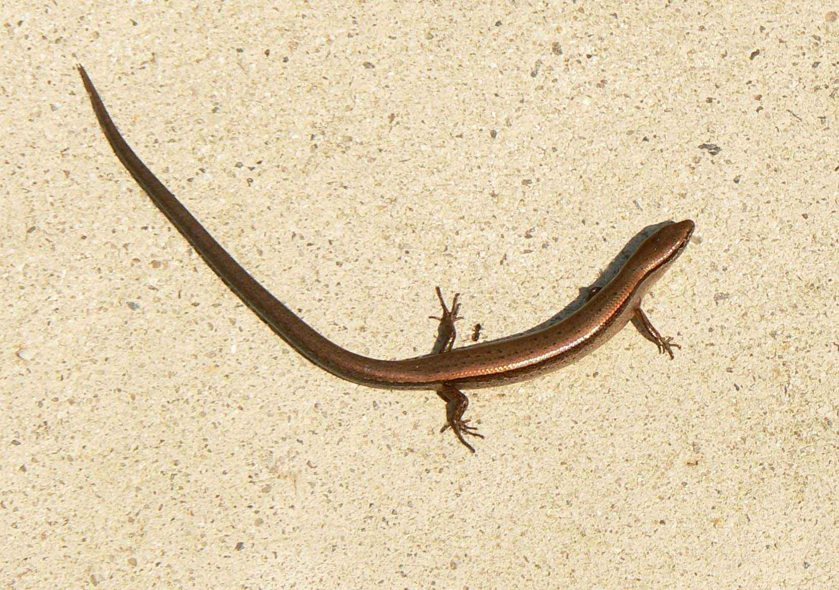 Free picture: little, brown, skink, ground, skink, scincella