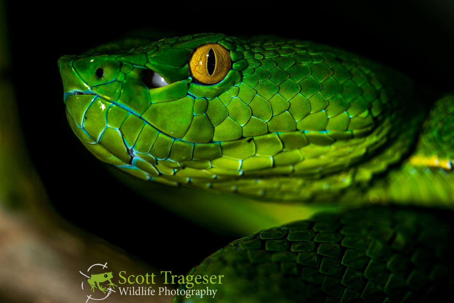 Vogel's Pit Viper – Reptiles and Amphibians of Bangkok