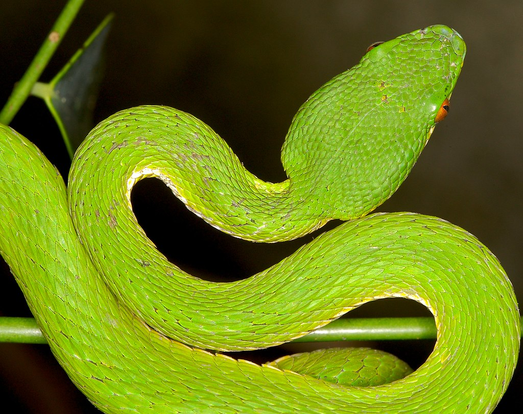 The World's newest photos of trimeresurus and yellow