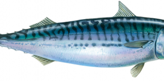 Atlantic Mackerel Wallpapers.png