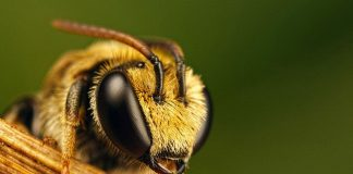 Bee Wallpapers.jpg