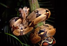 Boa Constrictor Wallpapers.jpg