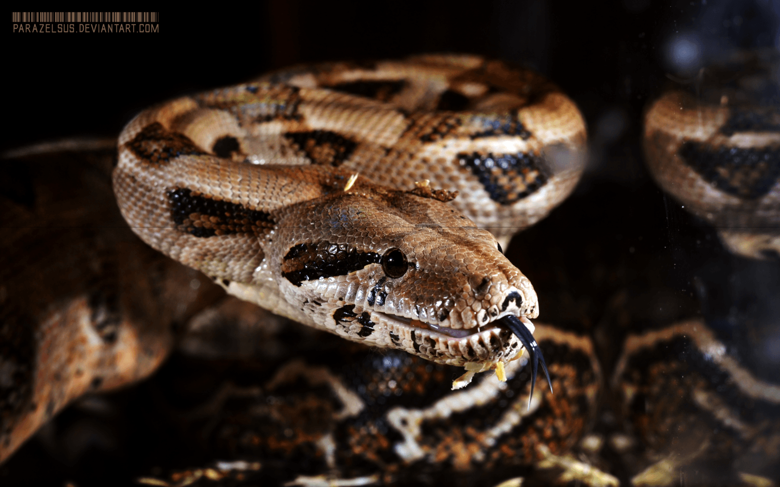 Boa Constrictor Imperator sp. Firebelly 016 by Parazelsus
