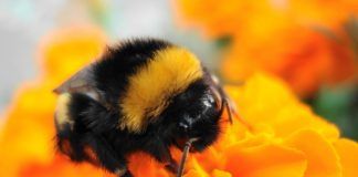 Bumblebee Insect Wallpapers.jpg