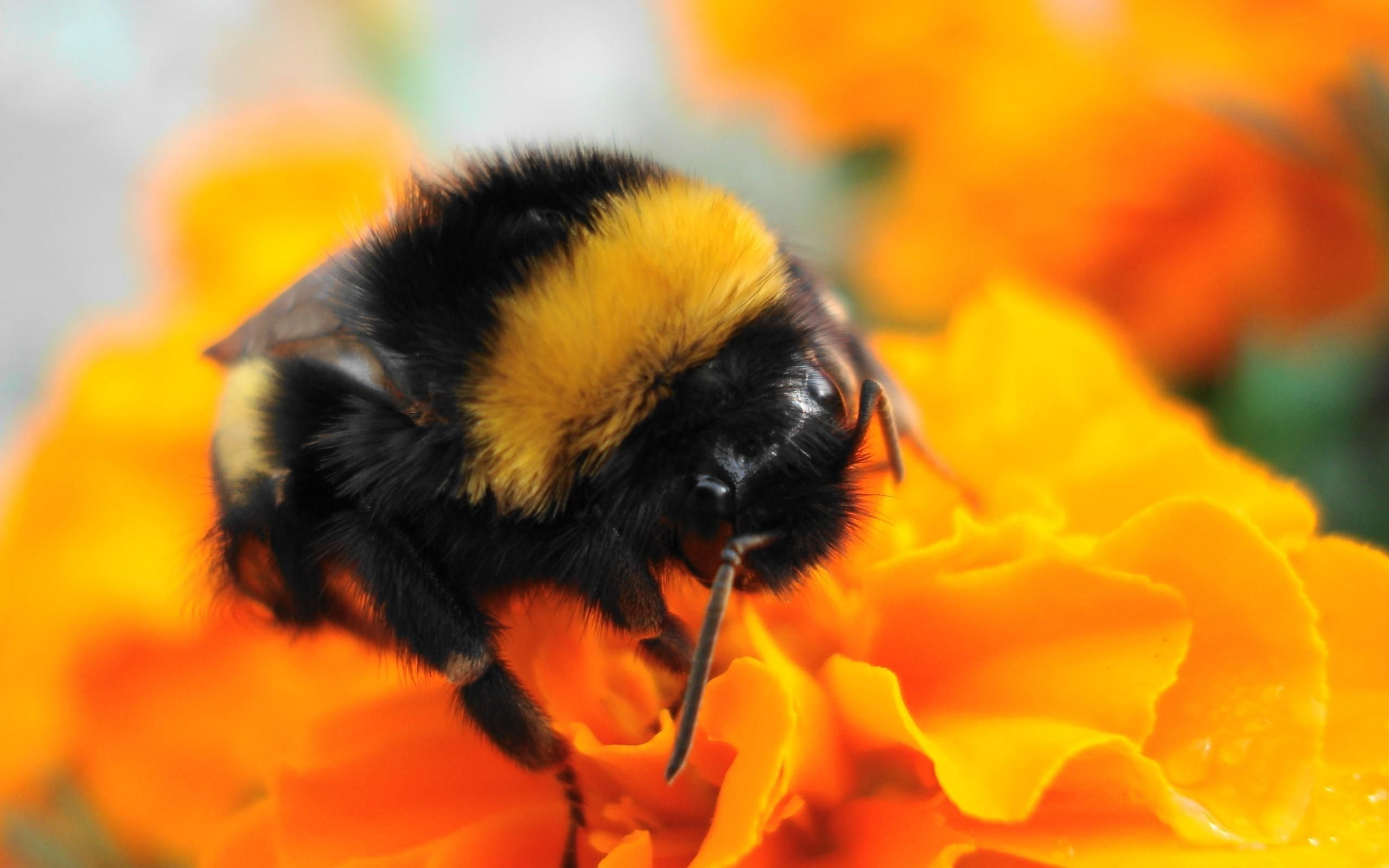 Pics For > Bumble Bee Insect Wallpapers