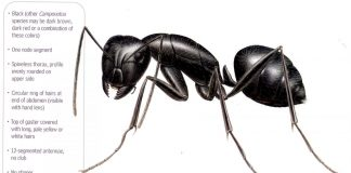 Carpenter Ant Wallpapers.jpg