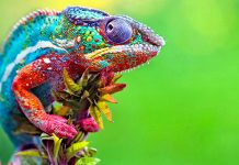 Chameleon Wallpapers.jpg