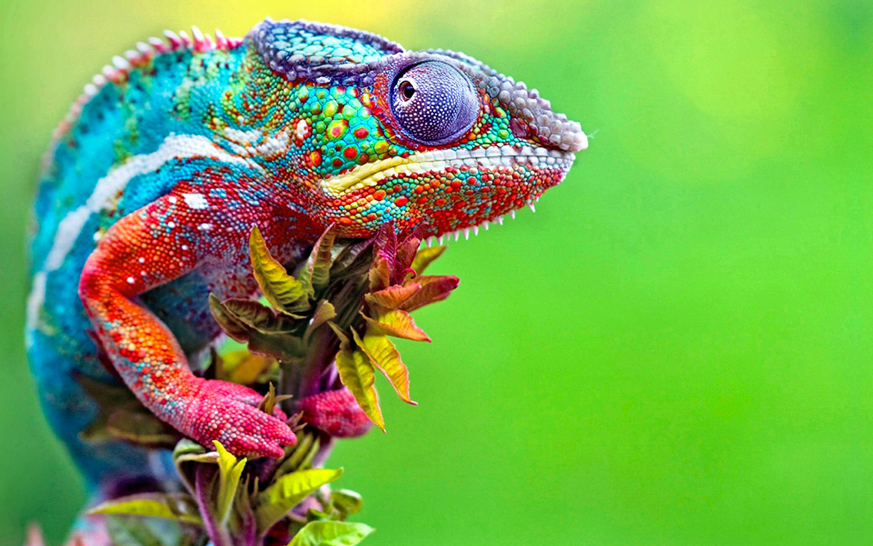 Chameleon Wallpapers FREE Pictures on ...