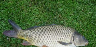 Common Carp Wallpapers.jpg
