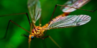 Crane Fly Wallpapers.jpg
