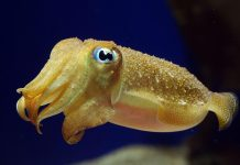 Cuttlefishes Wallpapers.jpg