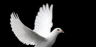 Dove Wallpapers.jpg