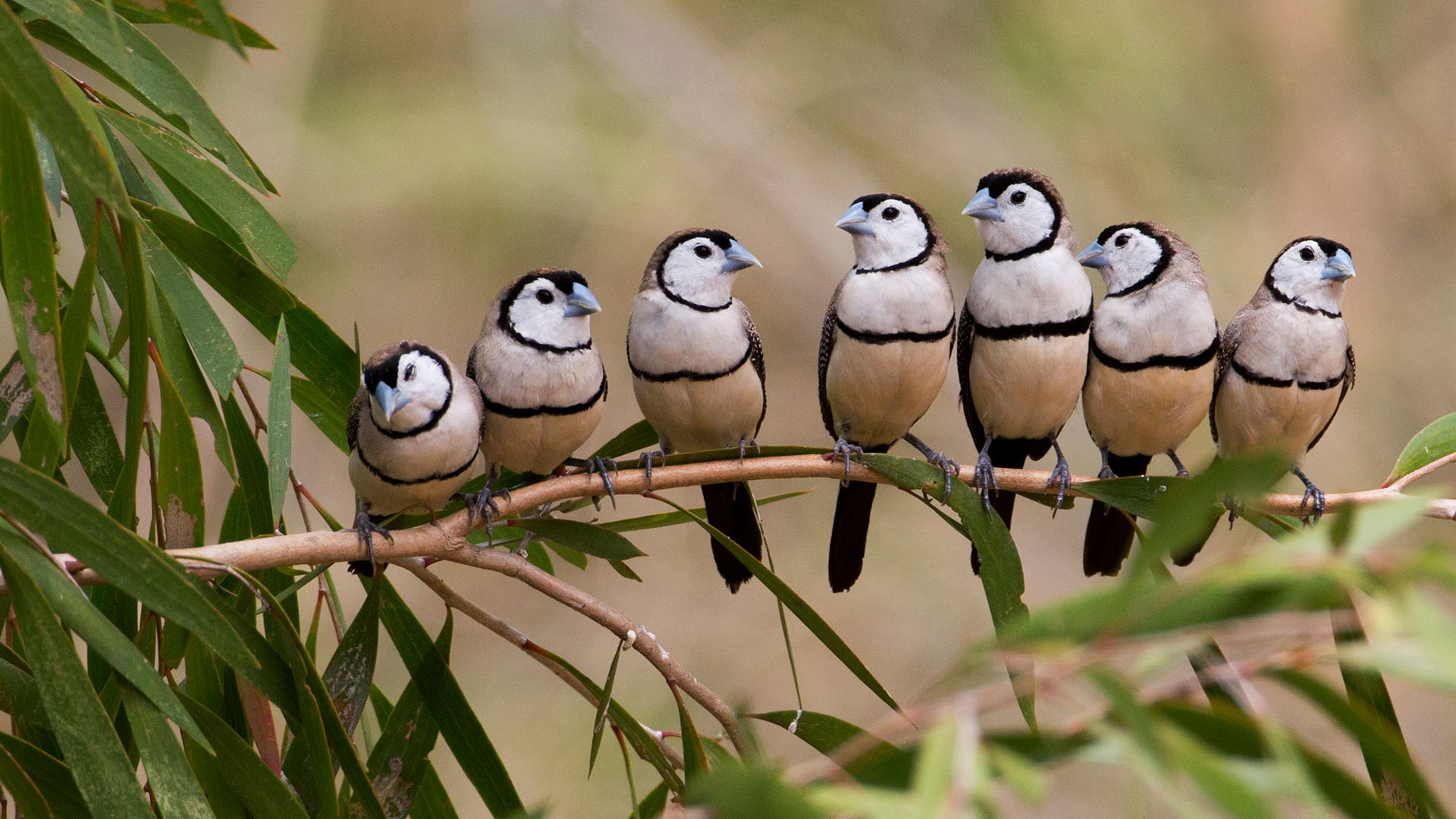 Barred Finches – Bing Wallpapers Download