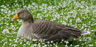 Goose Wallpapers.jpg