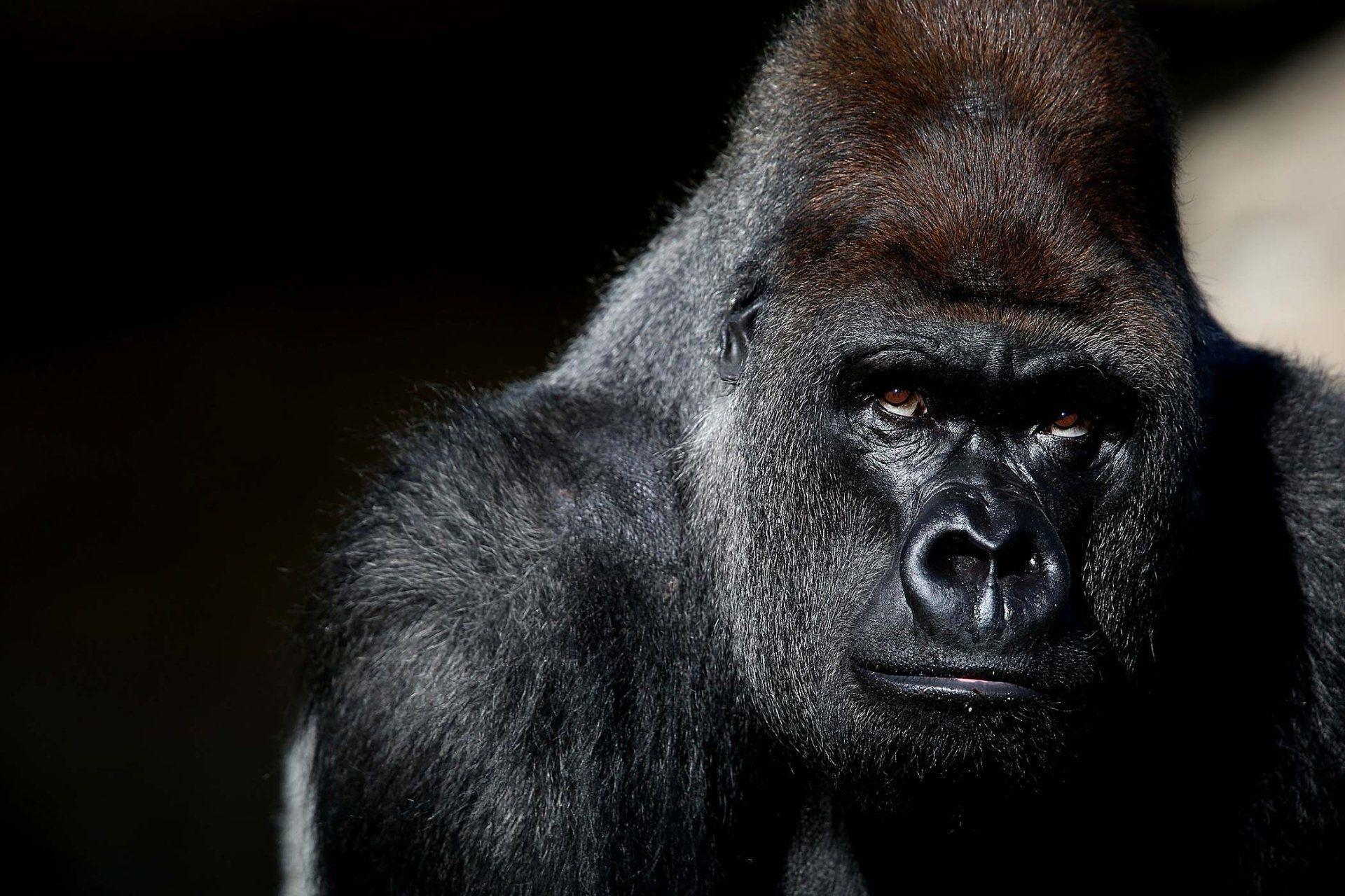 117 Gorilla HD Wallpapers